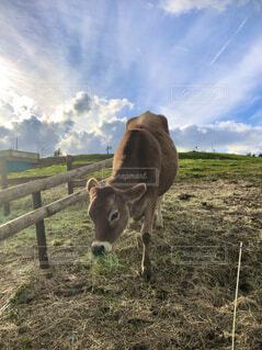 芝生で覆われた畑の上に立っている茶色の牛の写真・画像素材[4142795]