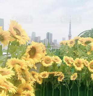 都会に咲いたひまわりの写真・画像素材[1300991]