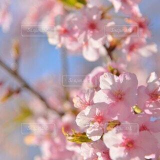 ほんわか桜の写真・画像素材[4243044]