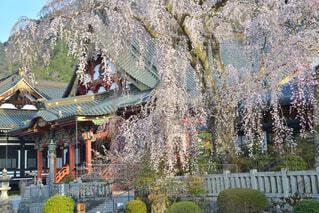 久遠寺と桜の写真・画像素材[4318960]