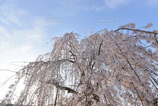 枝垂桜の空の写真・画像素材[4318961]