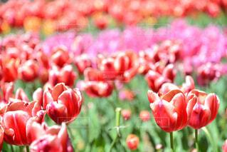 春のチューリップの写真・画像素材[4345393]