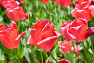 春のチューリップの写真・画像素材[4345404]