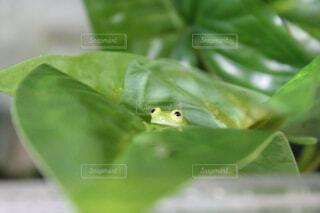 植物から顔を覗かせるカエルの写真・画像素材[4147256]
