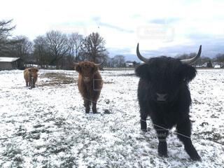 雪に覆われた牧場で過ごすハイランド牛の写真・画像素材[4150951]