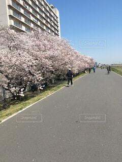 河川敷の桜の写真・画像素材[4172726]