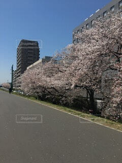 河川敷の桜の写真・画像素材[4172727]