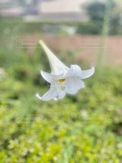 道端に咲いていた百合の花。一休みしたベンチの横にキレイに咲いていました。の写真・画像素材[4709761]