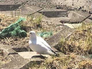 真っ白な鳩の写真・画像素材[4156455]
