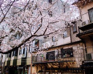 桜の写真・画像素材[506768]