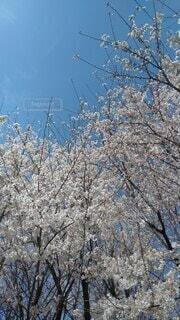 晴れ桜の写真・画像素材[4156875]