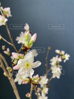 和室にも春が来たの写真・画像素材[4209298]