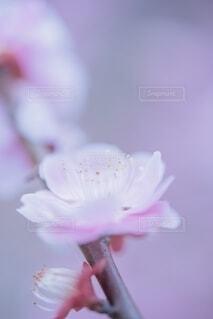 梅の花の写真・画像素材[4163484]