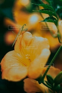 蟷螂とノウゼンカズラの写真・画像素材[4163508]