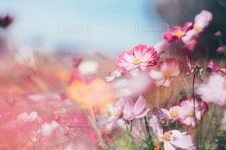 秋桜の写真・画像素材[4164322]