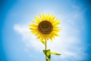 SunFlowerの写真・画像素材[4164346]