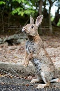 広島の野ウサギの写真・画像素材[4164345]