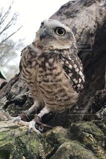フクロウの写真・画像素材[4163656]