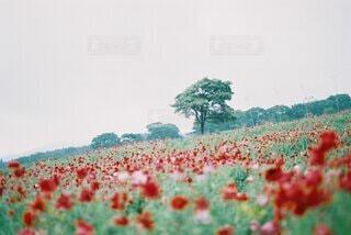 赤い花畑の写真・画像素材[4168910]
