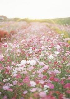 夕暮れ時の秋桜の写真・画像素材[4168911]