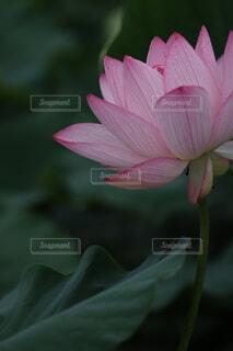 蓮の花の写真・画像素材[4169057]