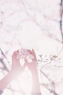 手のひらと桜の写真・画像素材[4181978]