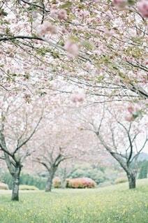 八重桜の写真・画像素材[4181982]