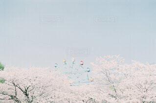 桜と観覧車の写真・画像素材[4181981]