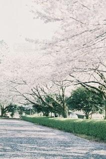 花吹雪の写真・画像素材[4181979]