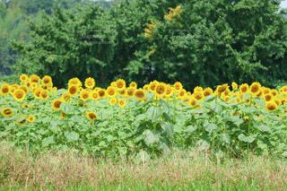 一面に咲くひまわりの写真・画像素材[4168995]