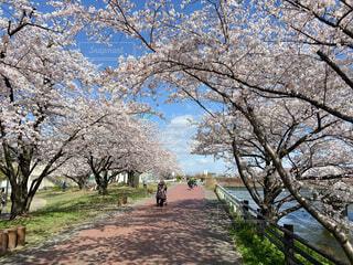 満開の桜並木の写真・画像素材[4169998]