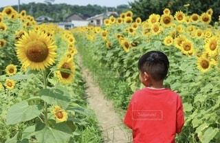 綺麗なひまわり畑の中でひまわりを眺める男の子の写真・画像素材[4201785]