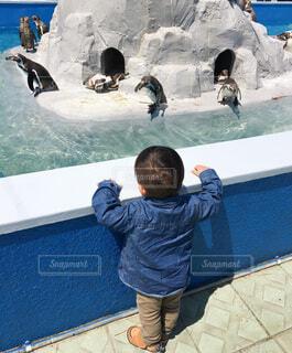 ペンギン達を見つめる男の子の写真・画像素材[4214982]
