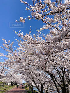 満開の桜の写真・画像素材[4262410]