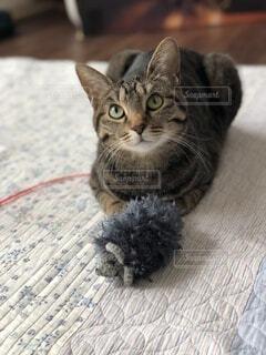 ネズミのおもちゃで遊んでいるキジトラの写真・画像素材[4180466]