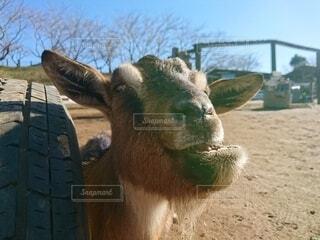 気持ちがよくてしゃくれてしまったヤギの写真・画像素材[4181453]