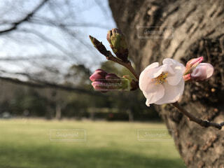開花前の桜の写真・画像素材[4248429]