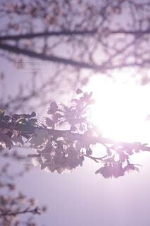 卒業式に撮った桜の写真の写真・画像素材[4174605]