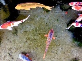 優雅に泳ぐ鯉の写真・画像素材[4189827]