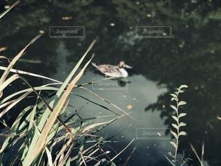 湖の鳥の写真・画像素材[4173240]