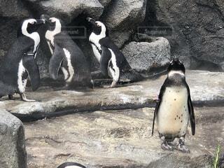 いペンギンの家族の写真・画像素材[4173249]