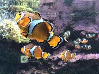 クマノミと珊瑚の写真・画像素材[4173248]