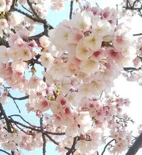 丸亀城の桜の写真・画像素材[4264093]