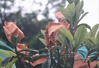 ビワの袋かけの写真・画像素材[4375704]