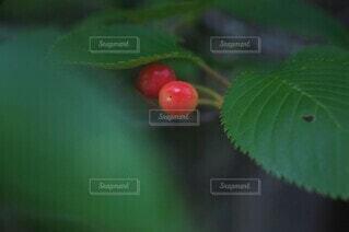 赤い桜の実の写真・画像素材[4395837]