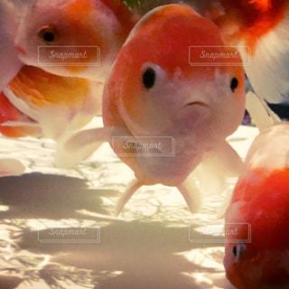 金魚 - No.177732