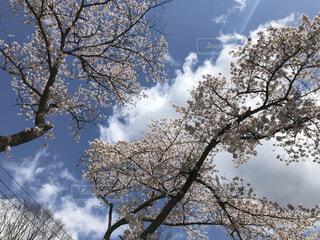 青空と桜の写真・画像素材[4187724]
