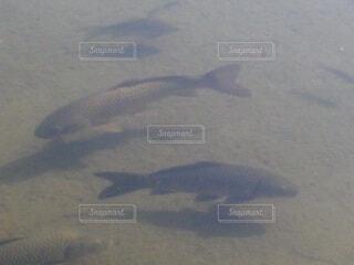 池の鯉の写真・画像素材[4180277]