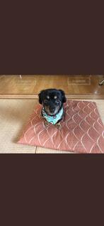 座布団におすわりしている犬の写真・画像素材[4189000]