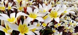 白と黄色の花のクローズアップの写真・画像素材[4333349]
